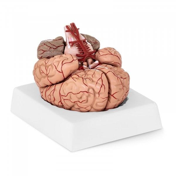 Maquette anatomique cerveau humain PHY-BM-1