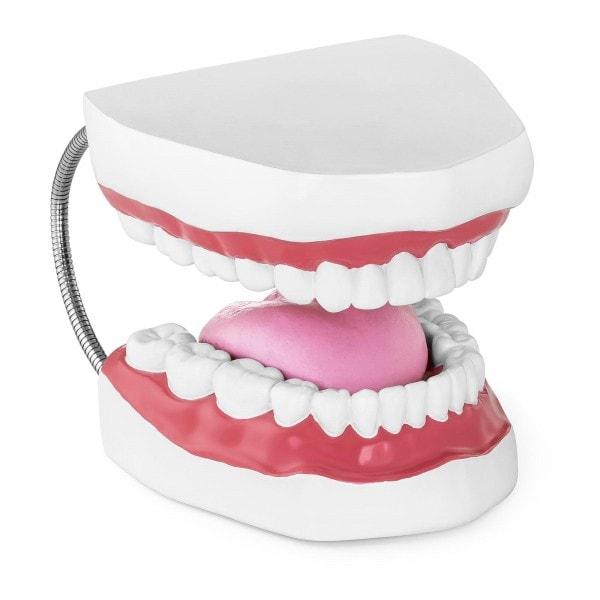Maquette anatomique de la dentition humaine - Bouche