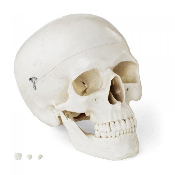 Maquette anatomique du crâne humain - blanche
