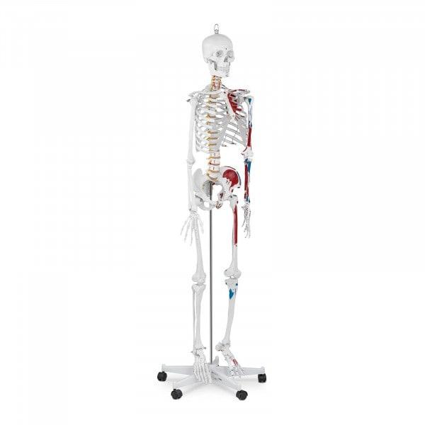 Occasion Maquette du squelette humain PHY-SK-2 - grandeur nature