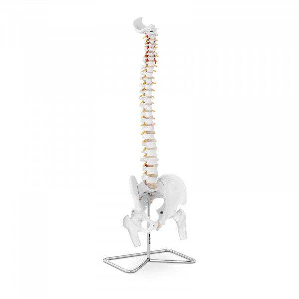 Maquette anatomique pelvis humain avec colonne vertébrale PHY-SM-1