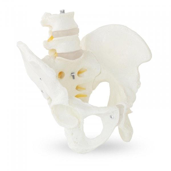 Maquette anatomique du bassin humain avec vertèbres lombaires - homme