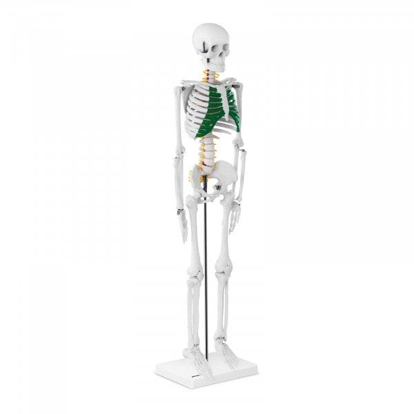 Mini maquette du squelette humain PHY-SK-5