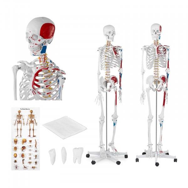 Maquette du squelette humain PHY-SK-2 - grandeur nature