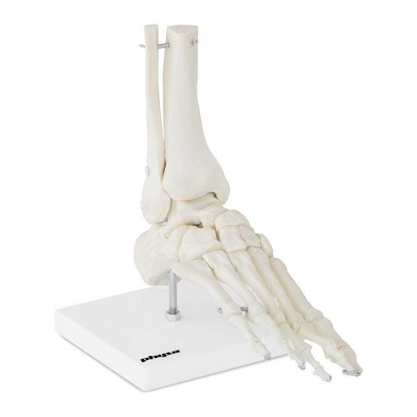 Maquette anatomique pied humain