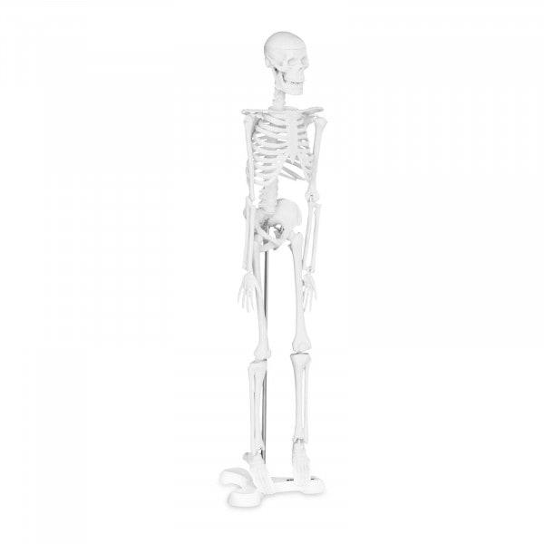 Mini maquette du squelette humain PHY-SK-6 - Échelle 1:4