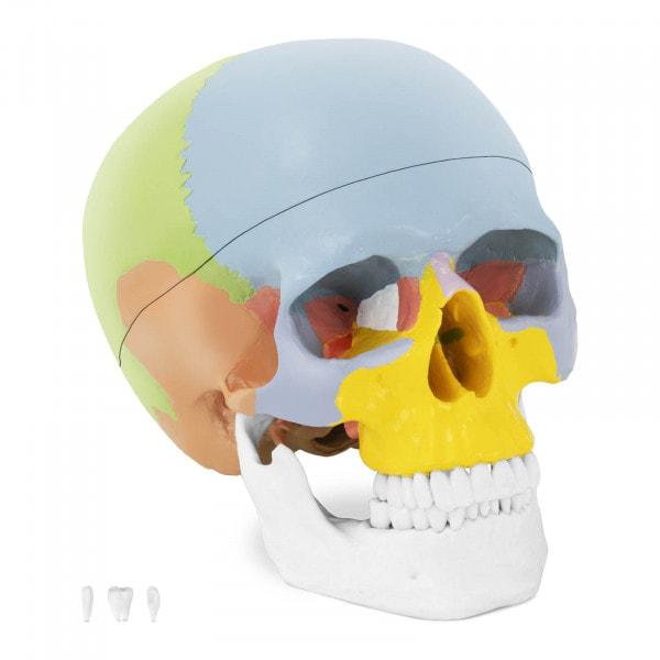 Maquette anatomique du crâne humain - en couleurs