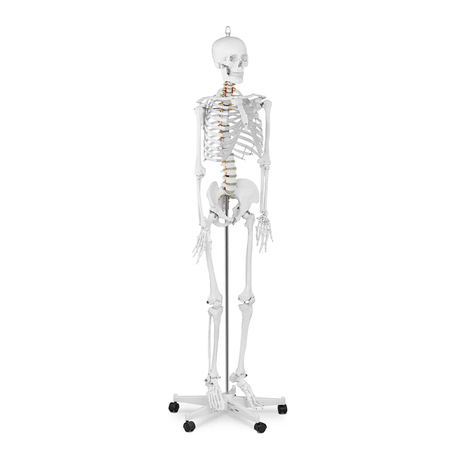 Squelettes et modèles anatomiques