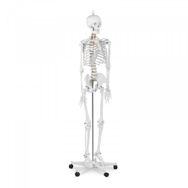 Maquette du squelette humain PHY-SK-1 - grandeur nature